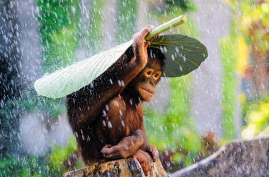 Moments. Andrew Suryono orangutan in the rain